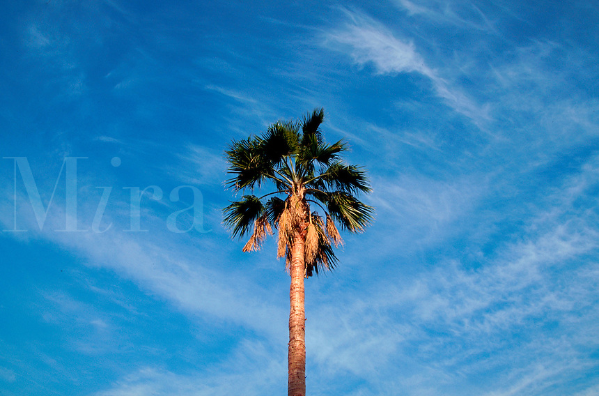 A sunlit palm tree and sky with clouds.