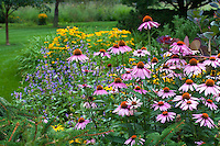 Perennial border with Purple Cone Flower (Echinacea purpurea) native perennial plant in Minnesota summer garden