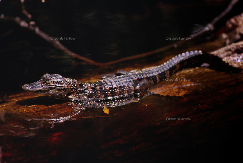 An American alligator hatchling swims near his mother in the waters of the Okefenokee National Wildlife Refuge. The baby gators are hatched from eggs and protected in a nest by their <br />