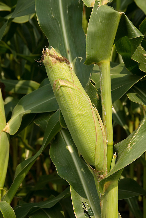 Minnesota agriculture: corn and soybeans are the two main crops of Southern Minnesota.  Cob of corn..Photo mnqual329-75082..Photo copyright Lee Foster, www.fostertravel.com, 510-549-2202, lee@fostertravel.com.
