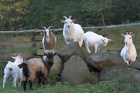 Hausziege, Haus-Ziege, Ziege, Ziegen
