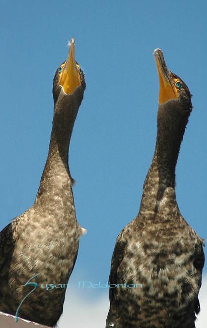 2 Cormorants Looking up
