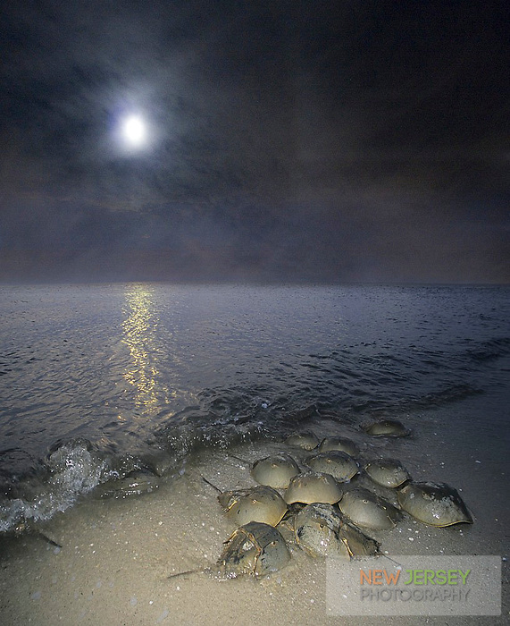 Horeshoe crabs breeding on the Atlantic Coast, full moon rising, Kimble's Beach, Delaware Bay, New Jersey