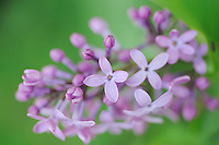 Lilac, Syringa vulgaris, the wild ancestor of the common garden Lilac,  The Ignoussa mountains, Lake Kerkini, Macedonia, Greece