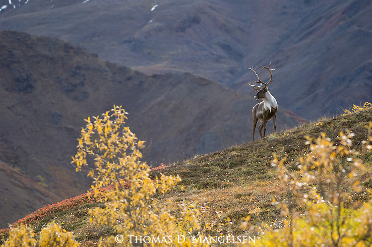 A bull caribou stands on a ridge overlooking the tundra in Denali National Park, Alaska.