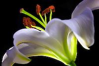 Stargazer lily closeup.
