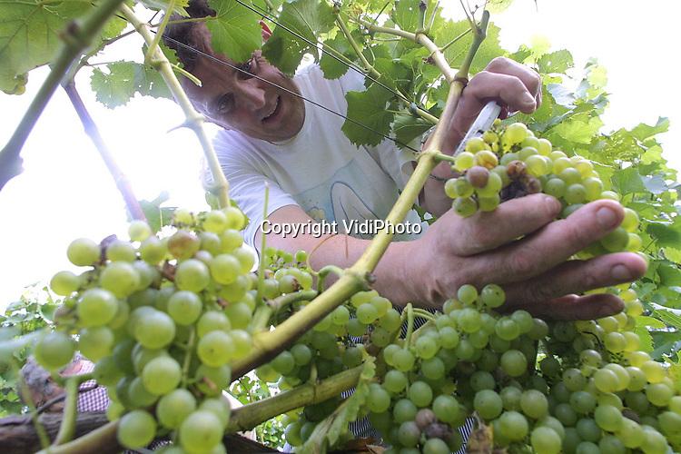 Foto: VidiPhoto..DODEWAARD - De oogst van de eerste wijndruiven is begonnen: noodgedwongen door het natte weer. Bij de enige buitendijkse wijngaard van Nederland in Dodewaard wordt woensdag de witte Orion geoogst. Volgens eigenaar Inno Venhorst is de oogst nog nooit zo groot geweest, dankzij het warme voorjaar en een warme zomer. Omdat door het vochtige weer nu echter schimmel ontstaat en de druiven beginnen de rotten, moeten ze snel geplukt worden.
