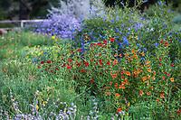 Diplacus rutilus, Santa Susana Monkey Flower, flowering in wildflower meadow of California native plants, Santa Barbara Botanic Garden
