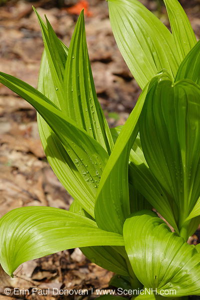 Indian Poke - Veratrum veride - in the New Hampshire USA.
