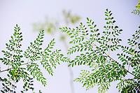 Kenya, branches of Moringa tree / KENIA, Blaetter und Zweige des Moringa Baums