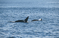 Killer Whale Orcinus orca Length 4-9m Distinctive, well-marked cetacean. The largest dolphin. Social, living in 'pods' of 5-20 animals. Feeds on fish, squid, seals and other cetaceans. Adult male has mainly blackish upperparts with grey saddle-like patch behind dorsal fin. Underparts are white and band of white extends onto flanks. Also has white patch behind eye. Dorsal fin is up to 1.8m tall, triangular and upright, sometimes even forward-leaning. Flippers are broad and paddle-shaped. Adult female is smaller with much shorter, shark-like dorsal fin.
