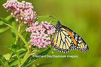 03536-05420 Monarch Butterfly (Danus plexippus) on Swamp Milkweed (Asclepias incarnata), Marion Co., IL