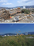 September 9, 2011, Ofunato, Japan - An uprooted tree lies in the field of debris in Ofunato City, Iwate Prefecture, 435km northeast of Tokyo, on April 2, 2011, top. Weeds have grown after all the debris were removed on Friday, September 9..Japan marks sixth months anniversary on September 11 of an earthquake and tsunami that have ravaged 130 kilometers along the Pacific coast in the country's northeastern region, leaving nearly 20,000 dead or missing. Six months after the nation's worst ever disaster. which also sparked a nuclear crisis, still more than 20,000 people are forced to dwell in temporary shelters and housings throughout the area. (Photo by Natsuki Sakai/AFLO)