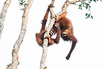 Two young orangutans wrestle with each other as they swing from a treetop.  The pair can be seen swinging upside down together as they monkeyed around.<br /> <br /> Photographer Julia Wimmerlin, 42, said these male orangutans were play-fighting around 20ft above the forest floor.  Ms Wimmerlin captured the shots at Tanjung Puting National Park in Borneo, Indonesia, and said one of the orangutans won their tussle before the loser made its way down the tree.  SEE OUR COPY FOR DETAILS.<br /> <br /> Please byline: Julia WImmerlin/Solent News<br /> <br /> ©  Julia WImmerlin/Solent News & Photo Agency<br /> UK +44 (0) 2380 458800