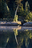 Great Blue Heron on Reflection Lake. Mt. Rainier National Park. Washington