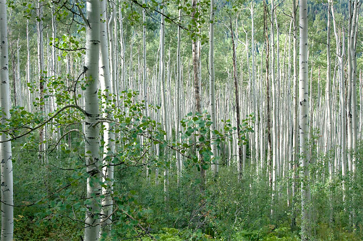 A thick stand of aspen trees near Aspen, Colorado.
