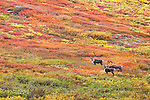 Caribou crossing on the fall colored tundra hill, Chandalar Shelf, outside of the Gates of the Arctic National Park & Preservre along the Dalton Hwy, Arctic Alaska, Autumn.