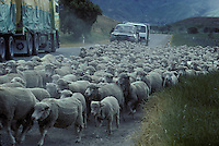 Sheep herding on road in S. Island, New Zealand