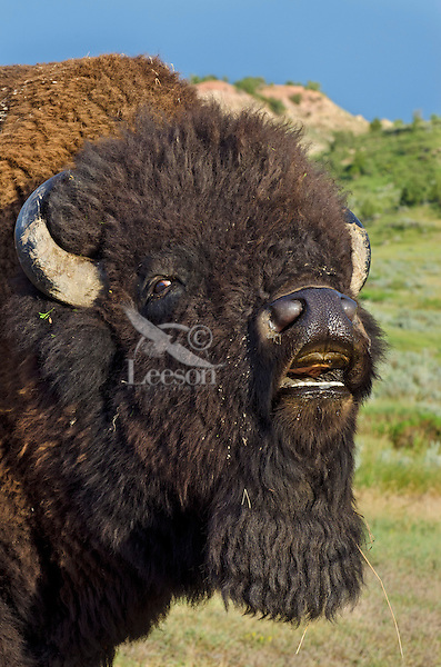 American bull bison (Bison bison) showing flehmen behavior--smelling for the females pheromones--during the summer bison rut.  American Great Plains.