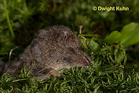 MU46-516z  Masked Shrew or Cinereus Shrew, Sorex cinereus