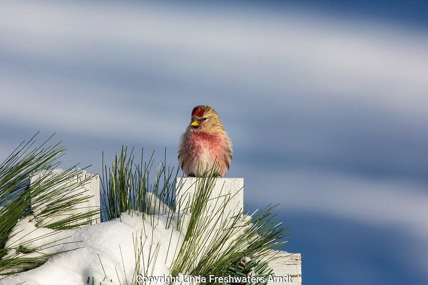 Male common redpoll perched on a festive fence in northern Wisconsin.