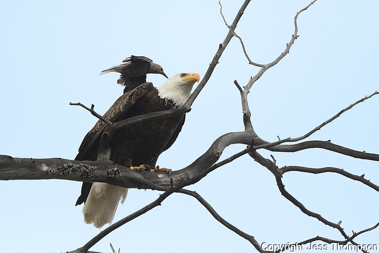 Clark's Nutcracker attacks a Bald Eagle in Yellowstone