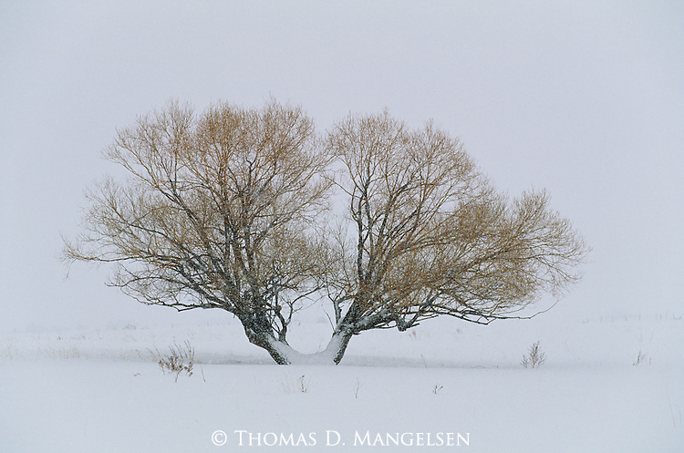 A willow tree in a snowstorm.