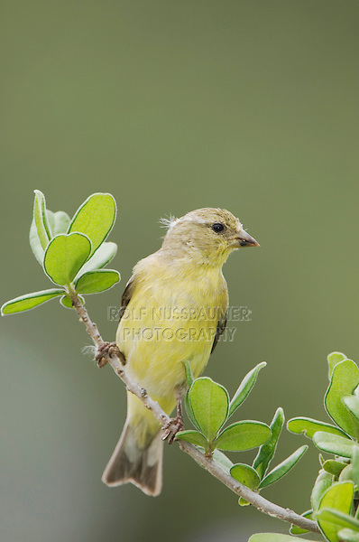 Lesser Goldfinch, Carduelis psaltria, female perched, Uvalde County, Hill Country, Texas, USA, April 2006