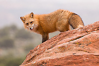 Red Fox standing on the edge of a rocky hill - CA