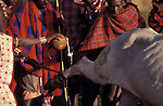 A sacrificial bull being blessed with milk,  The bull will be slaughtered as part of an intiation ceremony which will bring the Maasai Moran (young men) into manhood. <br /> Kajiado, Kenya.