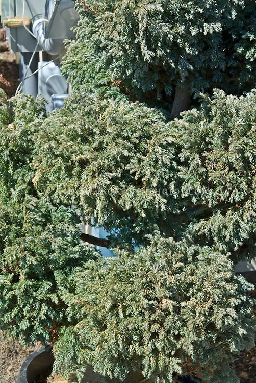 Spiral form of Boulevard Cypress (Chamaecyparis pisifera 'Boulevard' aka 'Cyano Viridis'
