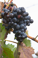 Bunches of ripe grapes. Cabernet Sauvignon vines. Bacalhoa Vinhos, Azeitao, Portugal