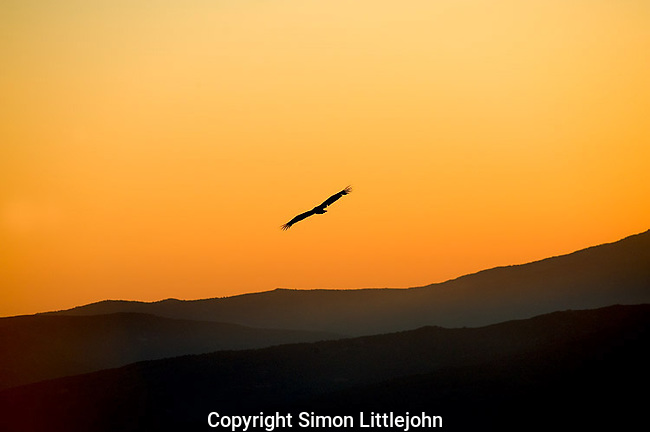Griffon Vulture in flight silhouetted by suns glow at dusk