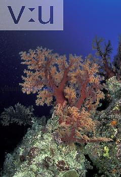 Reef scene with Alcyonarian Corals, Fiji.