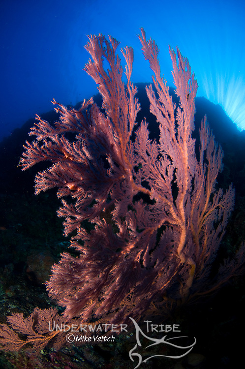 Red gorgonian seafan on a sheer wall, Gorgonacea sp., Pulau Penyu or Turtle Island, Banda Sea, Eastern Indonesia, Moluccus, Indonesia, Pacific Ocean