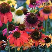 Gisela, FLOWERS, BLUMEN, FLORES, photos+++++,DTGK2541,#f#, EVERYDAY