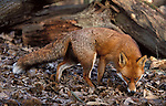 Red Fox, Vulpes vulpes, Blean Woods, Kent, Captive sniffing for food in leaves alert.United Kingdom....