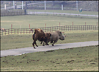 BNPS.co.uk (01202 558833).Pic: IanTurner/BNPS..Fearsome Rhino turns Runofferous as protective Camel dad gets the hump...Wacky races.....A three ton Rhino throwing its weight around at the Longleat Safari park in Wiltshire was sent packing by a feisty Bactrian camel looking after its newly born daughter. The notoriously bad tempered Rhino even suffered the indignity of a bite on its retreating rump as the fearless dromedary chased it round the park...Proud father Dougie was looking after his newly born daughter Nikki when the short sighted White Rhino strolled to close to them, As the calf took flight the protective father leapt into action and a high speed chase ensued leaving Marashi the White Rhino red faced...Fortunately with both species being endangered in the wild it was only the Rhino's pride that was damaged.