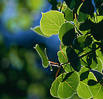 Bright sunlight backlights summer aspen leaves (Populus tremuloides), Rocky Mountains, Colorado, USA