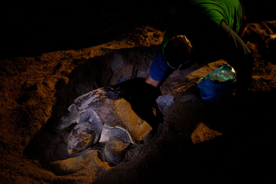 Barra Vieja, Mexico, February 16, 2012 &ndash; Victor Jesus Verdejo Ramirez, the Camp Director at Campamento Tortuguera, digs up freshly laid eggs from a mother leatherback sea turtle. The eggs are reburied in the sand at the camp where they will take another two months to hatch. After they hatch, they spend two days in the pool before being released into the ocean. The organization has been working to save turtles since 1999. <br /> <br /> Leatherbacks are one of the more endangered species, mostly due to human activity, including being caught in fishing nets, ingestion of plastic and trash, and illegal egg collection. The latter is a considerable problem in Mexico despite laws enacted in 1991 protecting the turtles. <br /> <br /> According to local lore, because the turtles take as long as 18 hours to mate, it was believed that eating the eggs would increase virility. This is of course not true. In fact the entire process of mating, including courtship takes place of 18 or so hours. Actual intercourse last no longer than 4-5 minutes. Still some believe in the eggs effects. <br /> <br /> Thieves can collect hundreds of eggs per night &ndash; on average a mother turtle lays about 110 eggs at one time. The eggs sale for about 5 Mexican pesos each, or about $0.40 cents US.