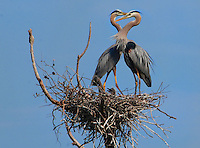 Courtesy photo/TERRY STANFILL<br /> Great blue herons frolic in their nest beside a pond near Gentry.