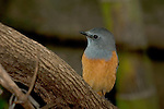 Forest Rock Thrush, Monticola sharpei, Isalo National Park, Madagascar, Least Concern on the IUCN Red List