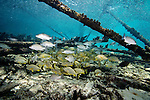 Alligator Lighthouse, Alligator SPA, Fishes, Florida Keys, Gray Snapper, Gray snapper, Lutjanus griseus, Marine Life