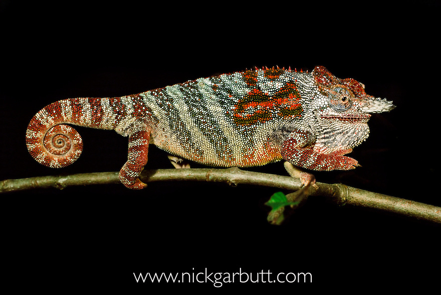 Male Minor Chameleon (Furcifer minor) in threat display. Central highlands, Madagascar