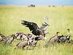 Birds* - Vulture and Maribou Stork