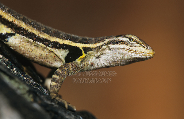 Keeled Earless Lizard, Holbrookia propinqua, adult, Willacy County, Rio Grande Valley, Texas, USA