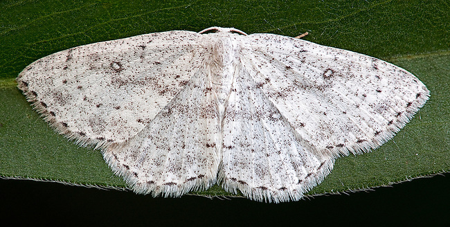 Sweetfern Geometer moth