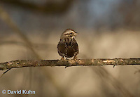 0106-1008  Chipping Sparrow, Young and First Winter, Spizella passerina  © David Kuhn/Dwight Kuhn Photography
