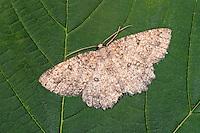 Trockenrasen-Steinspanner, Charissa obscurata, Annulet, Scotch Annulet, Spanner, Geometridae, looper, loopers, geometer moths, geometer moth