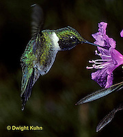 HU01-015z  Ruby-throated Hummingbird - drinking nectar from rhododendron flower as it hovers in air -  Archilochus colubris